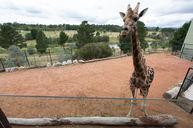 Giraffe Tree Houses