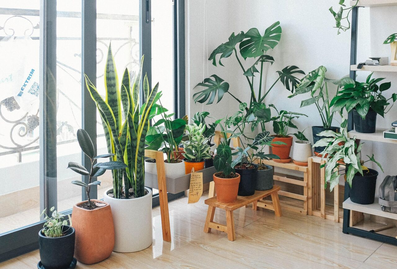 A selection of potted plants all arranged together near a window in a flat.