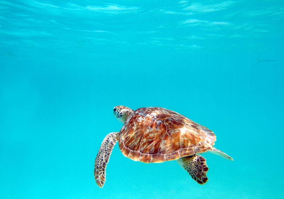 Sea Turtle in Riviera Maya