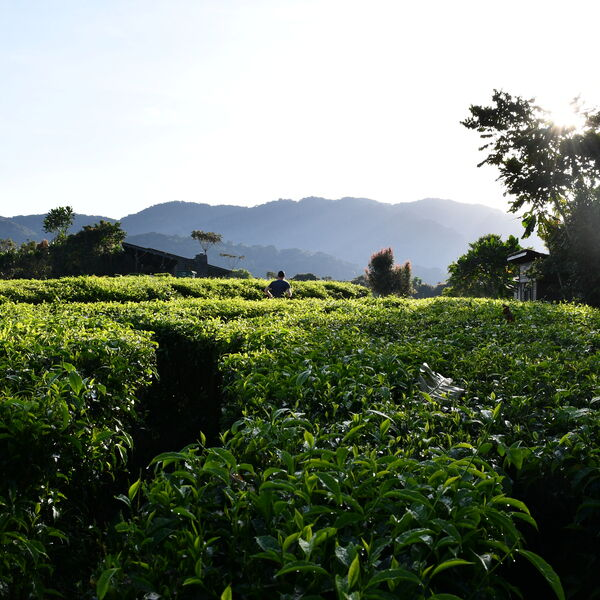 The tea fields surrounding One&Only Nyungwe House