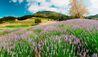 Carmel Valley Ranch : Lavender Field
