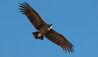 Las Casitas, A Belmond Hotel, Colca Canyon : Andean Condor