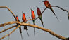 Kings Pool Camp : Southern Carmine Bee Eaters
