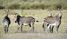 Bushmans Kloof Wilderness Reserve & Wellness Retreat : Zebras Surrounding Bushmans Kloof