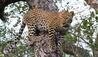 Royal Malewane : Leopard Sighting