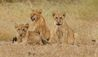 Azura Selous : Lion Cubs