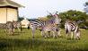 Zebra Feeding Foal Nearby Singita Sabora Tented Camp