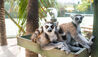 Necker Island : Lemurs