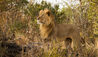 Ol Donyo Lodge : Lion on Game Drive