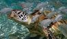 The Brando : Turtle