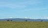 Hemingways Ol Seki Mara : Wildebeest On Game Drive