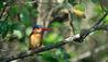 Roho ya Selous : Kingfisher