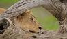 Roho ya Selous : Lion