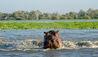 Roho ya Selous : Hippopotamus