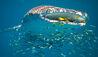 Sal Salis Ningaloo Reef : Whale Shark