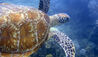 Thala Beach Nature Reserve : Green Turtle