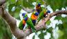 Thala Beach Nature Reserve : Rainbow Lorikeets