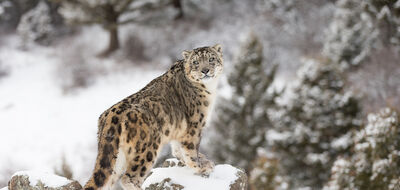 Snow Leopards in the Mighty Himalayas